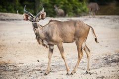 Antilope in gevangenschap royalty-vrije stock afbeeldingen