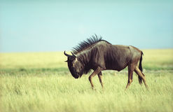 Antilope gnu Royalty Free Stock Photos