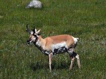 Antilope het voeden Royalty-vrije Stock Foto