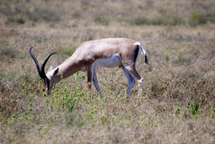 Antilope in high grass. Single antilope in high grass Royalty Free Stock Photography