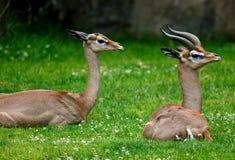 Antilope im Gras Stockbild