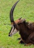 Antilope im Gras mit Mund-geschlossener Seitenansicht über Sunny Day Stockbilder