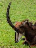 Antilope im Gras mit Mund-geschlossener und gekippter Schattenseiten-Hauptansicht über Sunny Day Lizenzfreies Stockfoto