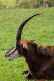 Antilope im Gras mit Mund-offener Seitenansicht über Sunny Day Stockfoto