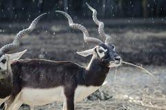 Antilope im Regen Stockfotos