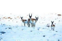 Antilope im Schnee stockfotos