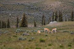 Antilope im Tal Lizenzfreies Stockbild