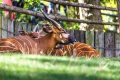 Antilope isaaci euryceros Taurotragus бонго стоковые изображения rf