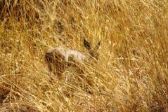 Antilope in lang gras Royalty-vrije Stock Fotografie