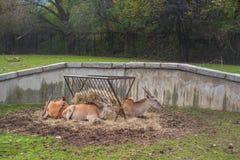 Antilope marrón amistoso que miente en el parque zoológico Foto de archivo libre de regalías