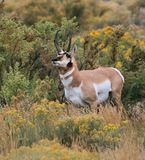 Antilope maschio Fotografia Stock Libera da Diritti