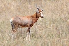 Antilope maschio di Bontebok   Fotografie Stock Libere da Diritti