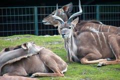 Antilope maschio di eland che esamina una femmina fotografia stock
