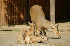 antilope met peuters Stock Afbeeldingen