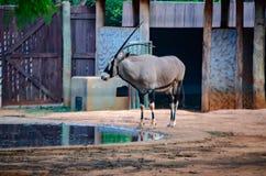 Antilope met scherpe hoorn dichtbij kunstmatig meer stock afbeeldingen