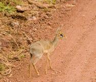Antilope minuscola di Dik Dik dell'Africano Fotografia Stock Libera da Diritti