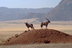 Antilope mit zwei Gemsbuck in Namibischer Wüste Stockfotos