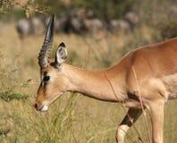 Antilope nel Botswana Immagine Stock