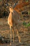 Antilope nel cespuglio Fotografia Stock
