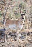 Antilope nel selvaggio immagine stock