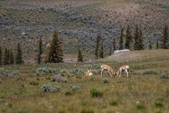 Antilope nella valle Immagine Stock Libera da Diritti