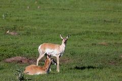 Antilope op de prairie stock afbeeldingen