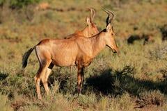 Antilope più hartebeest rossa - Sudafrica Fotografia Stock Libera da Diritti