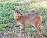 antilope Quatre-à cornes photographie stock libre de droits