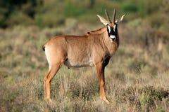 Antilope Roan Fotografie Stock