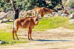 Antilope Roan Immagine Stock Libera da Diritti