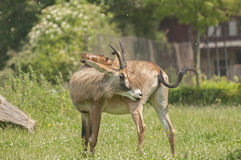 Antilope rouane Images stock