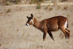 Antilope rouanne Στοκ Εικόνες