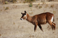 Antilope rouanne Stock Images