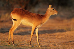 Antilope rouge de Lechwe Photos libres de droits