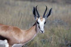 antilope saltante Fotografia Stock