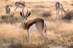 Antilope saltante Fotografie Stock Libere da Diritti