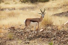 Antilope saltante Fotografia Stock Libera da Diritti