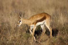 Antilope saltante Immagine Stock