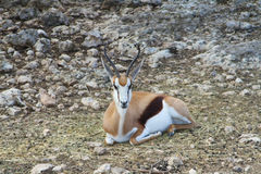 Antilope saltante 3 Fotografie Stock Libere da Diritti