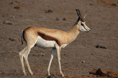 Antilope saltante Immagini Stock