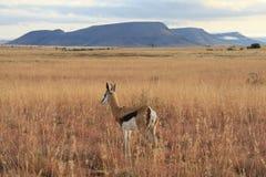 Antilope saltante in Africa Fotografie Stock Libere da Diritti