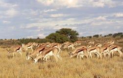 Antilope saltante africana selvaggia Fotografia Stock Libera da Diritti