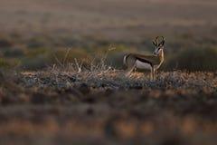 Antilope saltante alla luce piacevole Kaokoland, regione di Kunene nafta Paesaggio duro immagine stock libera da diritti
