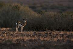 Antilope saltante alla luce piacevole Palmwag, Kaokoland, regione di Kunene nafta Paesaggio duro Immagine orizzontale fotografia stock