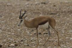 Antilope saltante che cammina nel parco nazionale di Etosha, Namibia Immagine Stock