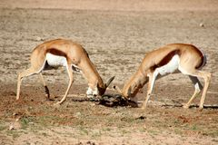 Antilope saltante che combatte l'Africa Immagine Stock