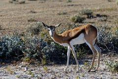 Antilope saltante che esamina la macchina fotografica fotografie stock libere da diritti