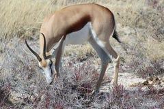 Antilope saltante che mangia nella savanna Fotografia Stock