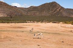 Antilope saltante che pasce Fotografia Stock