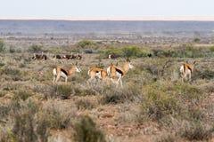 Antilope saltante con gli struzzi Immagini Stock Libere da Diritti